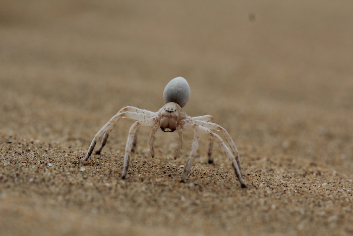 white-lady-spider