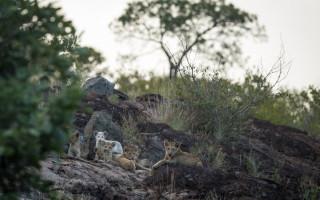 white-lion-cubs