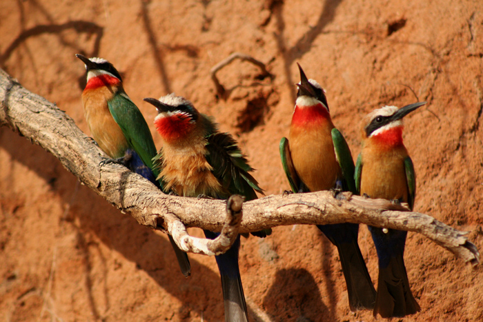 white-throated-bee-eaters-selous-game-reserve