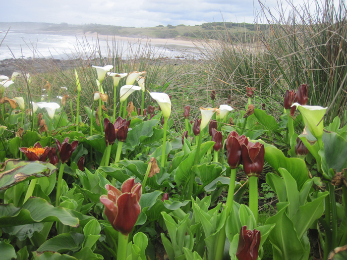 Rushes, arums and snake lilies growing near a shoreline rock shelf close to the Kei River
