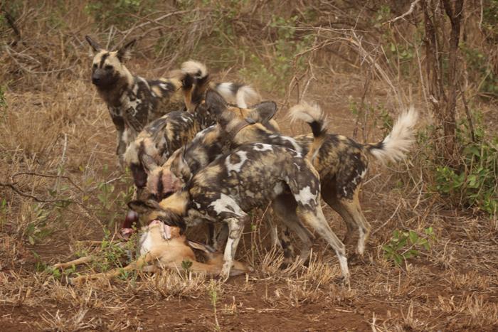 wild-dog-pack-kills-impala-zululand-rhino-reserve