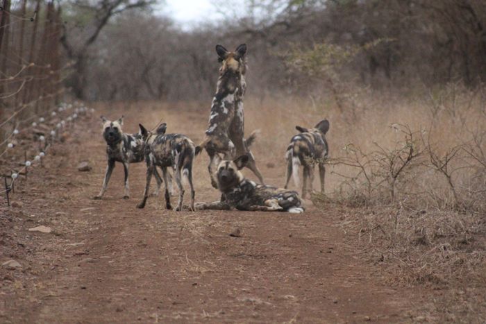 wild-dogs-at-rhino-river-lodge