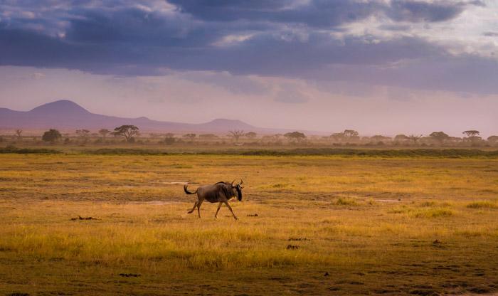 wildebeest-amboseli