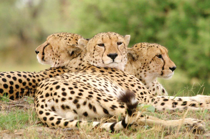 yabut-three-cheetah-heads