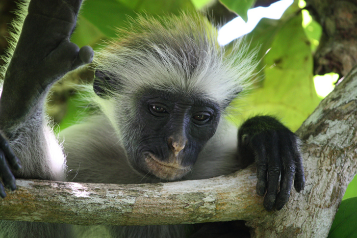 monkeying about with the zanzibar red colobus africa geographic