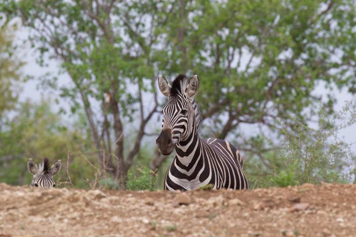 zebra-comes-over-hill