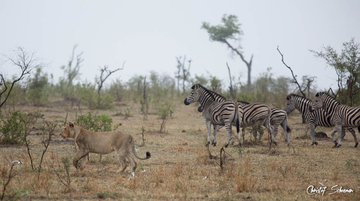 zebras-lion