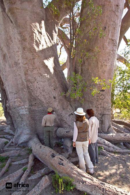 Chapmans-Baobab-Botswana