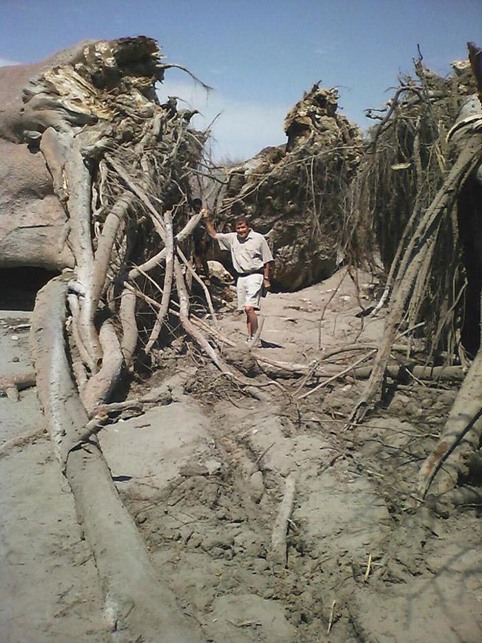 Fallen baobab tree