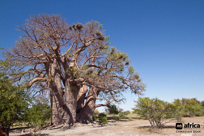 Chapmans-Baobab-large-tree-Botswana