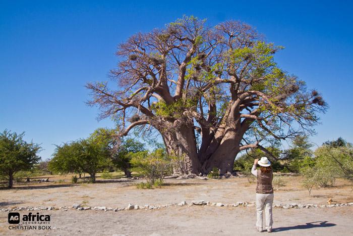 Chapmans-Baobab