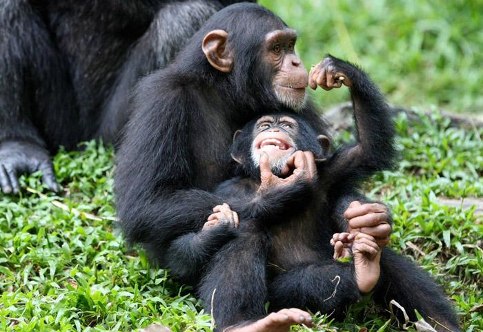 Chimps-in-Uganda