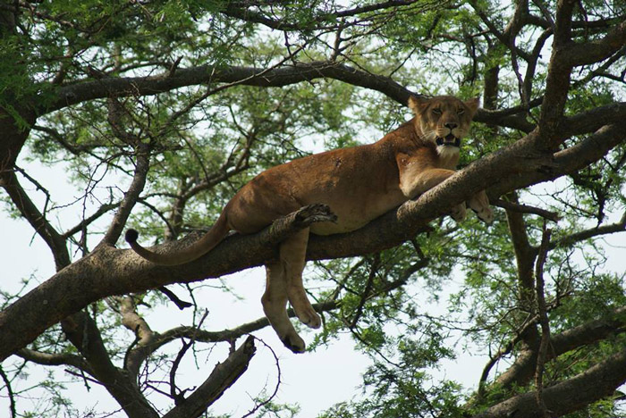 Climbing-Lions-in-Queen-Elizabeth-Park-Uganda