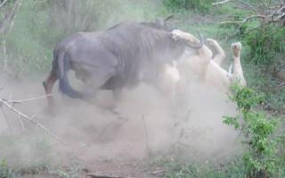 FIERCE-FIGHT-Lion-vs-wildebeest