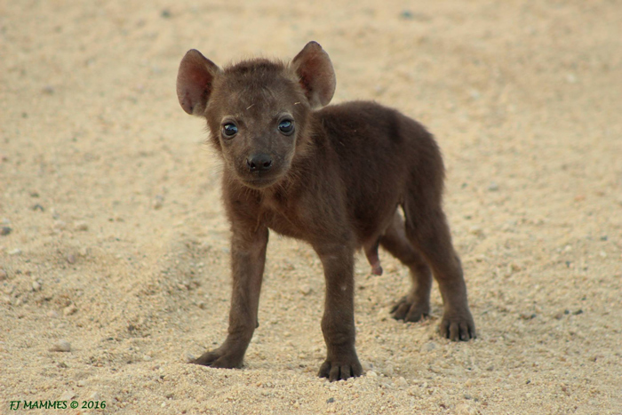 Curious hyena cubs & facts about hyenas - Africa Geographic