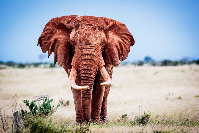 africa-great-tusker