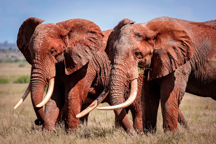 africas-big-tuskers