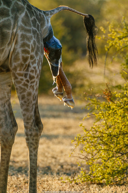 baby-giraffe-being-born