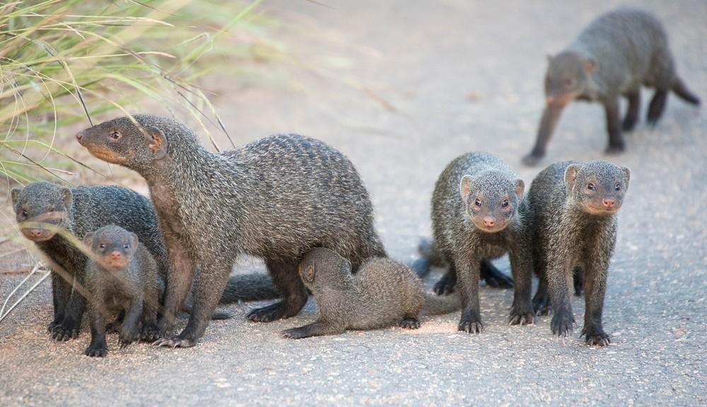 banded-mongooses-sally-robinson