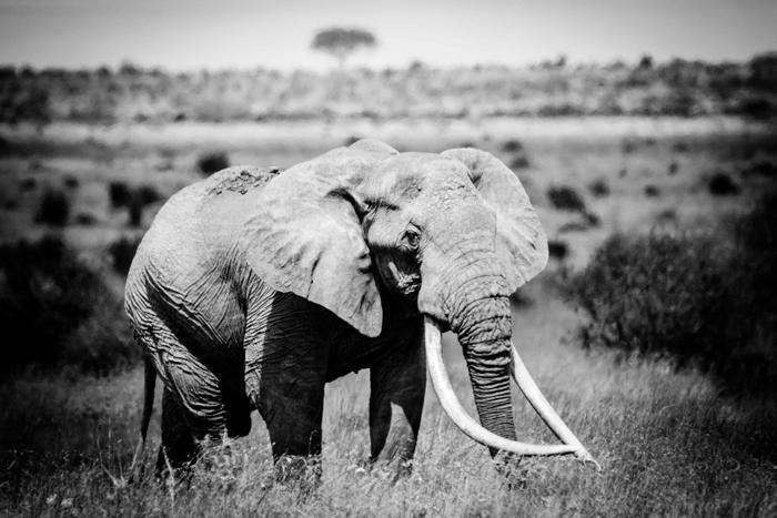 big-tusker-black-and-white