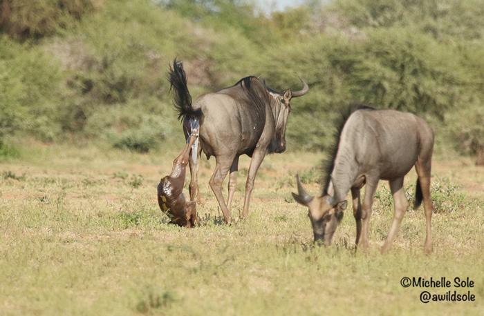 birth-of-wildebeest