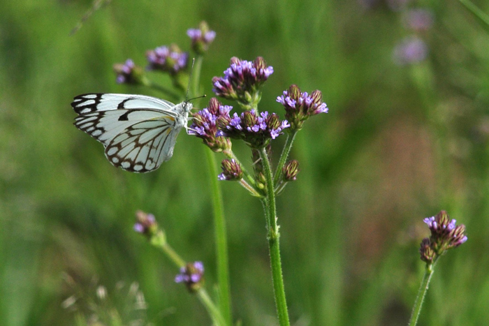 brown-veined-white-on-flower