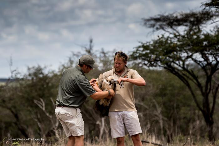 catching-vulture-zululand-rhino-reserve