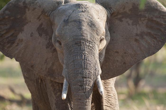 charging-elephant-luangwa
