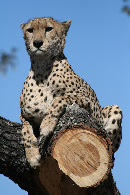 South Africa is passionate about conservation of endangered species like cheetah © Characterstays