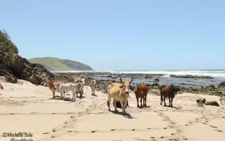 cows-on-the-beach