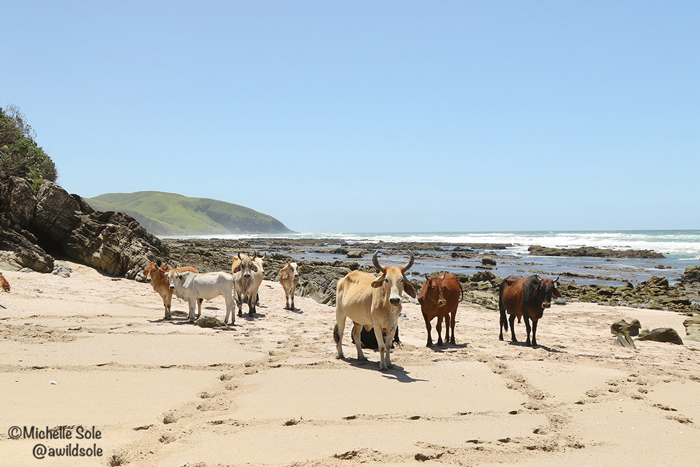 cows-on-the-beach