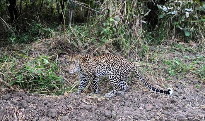 fundi-leopard-luca-todeschini