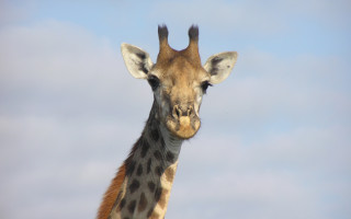 giraffe-destinations-africa