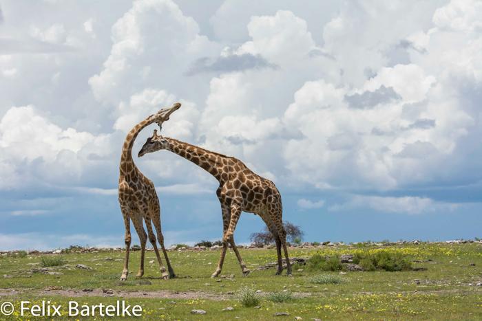 giraffe-felix-bartelke