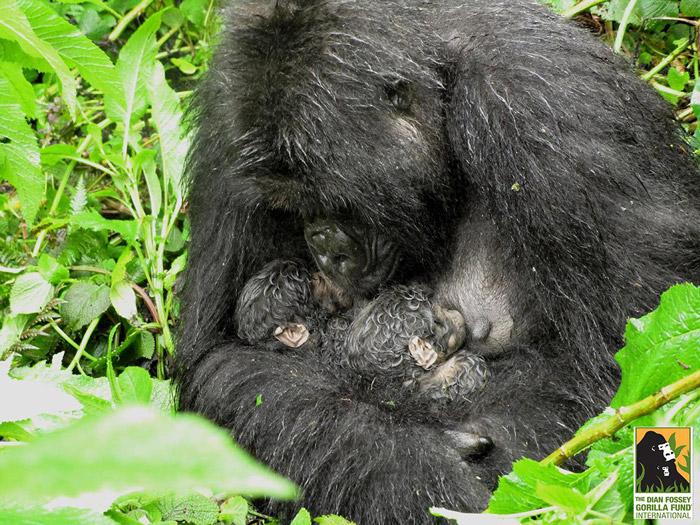 © Samedi Mucyo, the Dian Fossey Gorilla Fund