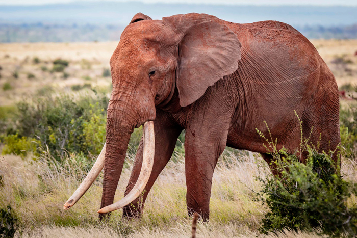 great-tusker-africa