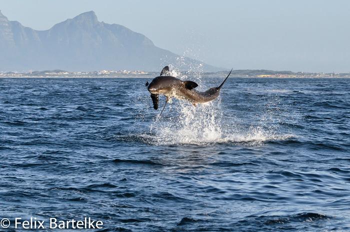 great-white-shark-felix-bartelke