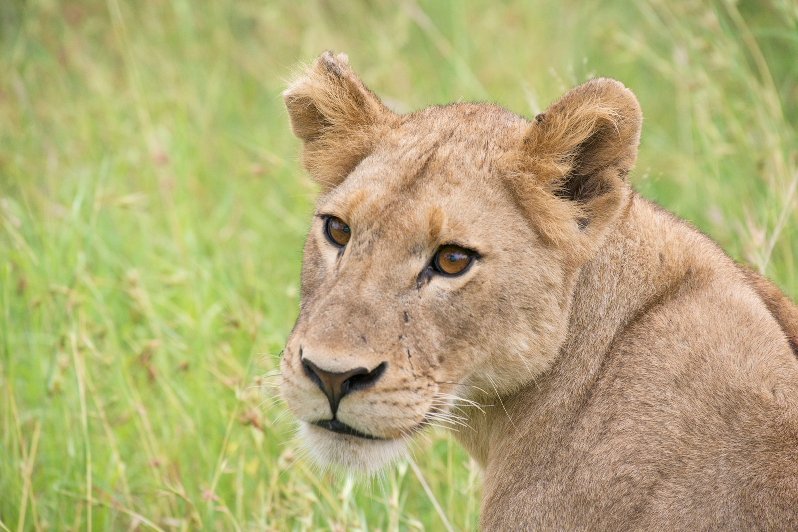A young, very relaxed lion already bears scars from fights ©Sally Robinson