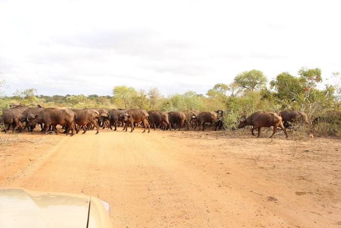 herd-cape-buffalo