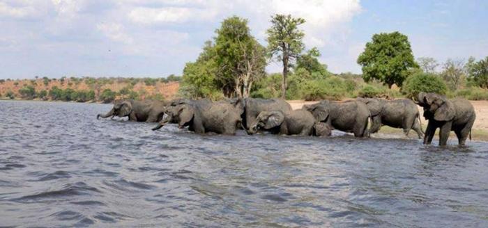 herd-of-elephants-chobe-lelobu-safaris