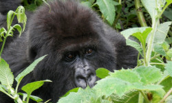 hiding-mountain-gorilla