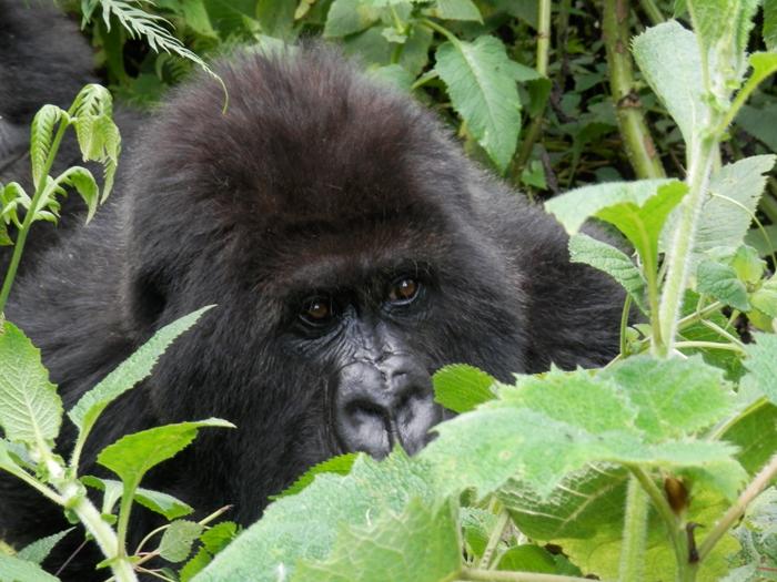 hiding-mountain-gorilla