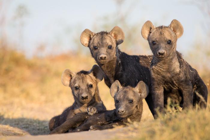 hyena-babies-will-burrard-lucas-norman-carr-safaris