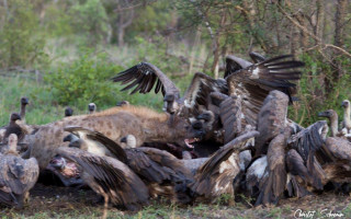 hyena-chases-away-vultures