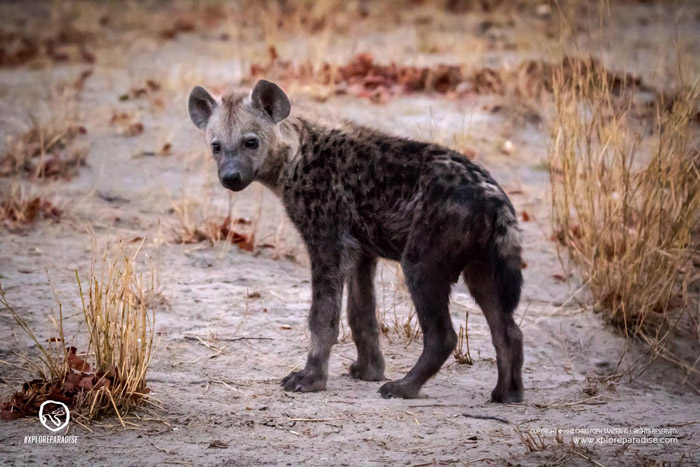 hyena-okavango