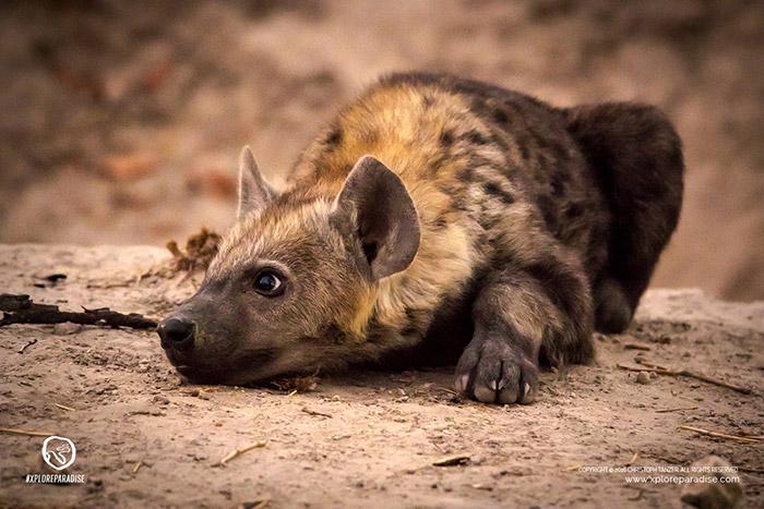 hyena-pup-okavango