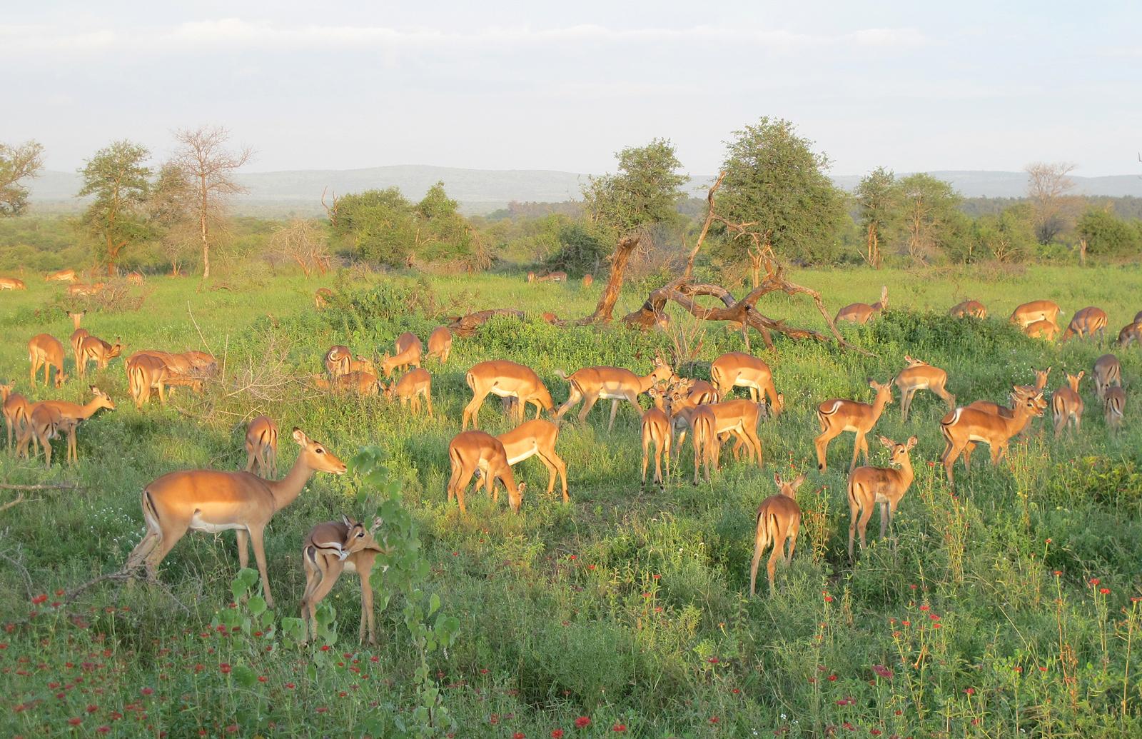 impala-kruger-national-park