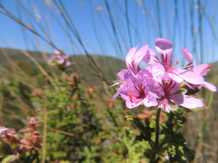 This pretty Pelargonium scabrum occurs naturally from Springbok to Grahamstown and once settled in needs hardly any water. Its fragrant leaves and pretty flowers will bring both colour and scent to your garden.
