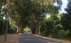 Avenue lined with eucalyptus trees proving shade © Dewidine van der Colff