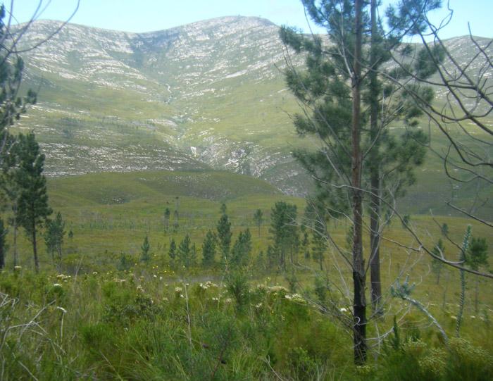 Pines scattered across the landscape, amongst indigenous plants © Dewidine van der Colff